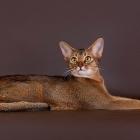 Абиссинская кошка, дикий окрас1