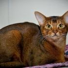 Абиссинская кошка, дикий окрас2
