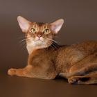Абиссинская кошка, дикий окрас4