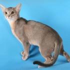 Абиссинская кошка, голубой окрас1