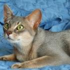 Абиссинская кошка, голубой окрас2