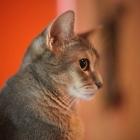 Абиссинская кошка, голубой окрас3