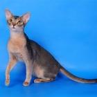 Абиссинская кошка, голубой окрас4