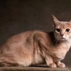 Абиссинская кошка, окрас фавн1