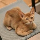 Абиссинская кошка, окрас фавн2