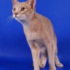 Абиссинская кошка, окрас фавн3