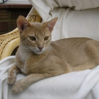 Абиссинская кошка, окрас фавн4