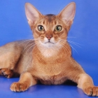 Абиссинская кошка, окрас соррель1
