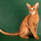 Абиссинская кошка, окрас соррель2