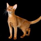 Абиссинская кошка, окрас соррель3