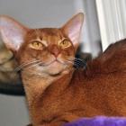 Абиссинская кошка, окрас соррель4