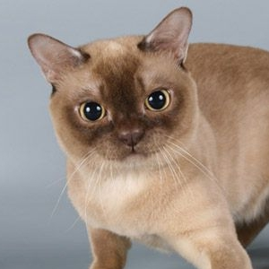 burmese-cat-american