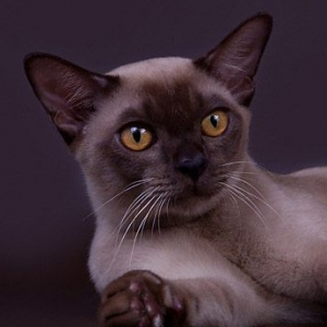 burmese-cat-european