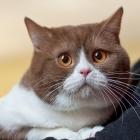 Британская короткошерстная кошка, биколор1