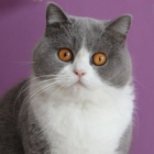 Британская короткошерстная кошка, биколор2