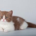 Британская короткошерстная кошка, биколор3