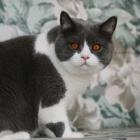 Британская короткошерстная кошка, биколор4