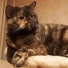 Британские короткошерстные кошки, черепаховый окрас1