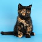 Британские короткошерстные кошки, черепаховый окрас2