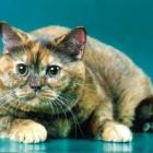 Британские короткошерстные кошки, черепаховый окрас3