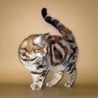 Британские короткошерстные кошки, черепаховый окрас4