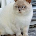 Британская короткошерстная кошка, колор-пойнт1