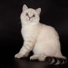 Британская короткошерстная кошка, колор-пойнт2