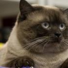 Британская короткошерстная кошка, колор-пойнт3