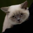 Британская короткошерстная кошка, колор-пойнт4