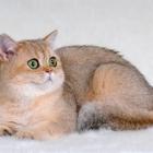 Британская короткошерстная кошка, окрас шиншилла1