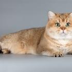 Британская короткошерстная кошка, окрас шиншилла2