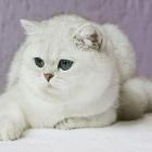 Британская короткошерстная кошка, окрас шиншилла3
