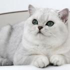 Британская короткошерстная кошка, окрас шиншилла4