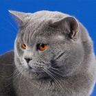Британская короткошерстная кошка, сплошной окрас1