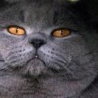 Британская короткошерстная кошка, сплошной окрас2