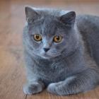 Британская короткошерстная кошка, сплошной окрас3