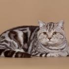 Британская короткошерстная кошка, окрас табби2