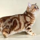 Британская короткошерстная кошка, окрас табби3