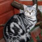 Британская короткошерстная кошка, окрас табби4