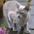 Бурманская кошка, голубой окрас1