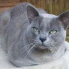 Бурманская кошка, голубой окрас2