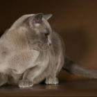 Бурманская кошка, голубой окрас3