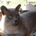 Бурманская кошка, голубой окрас4