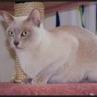 Бурманская кошка, лиловый окрас1