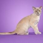 Бурманская кошка, лиловый окрас2
