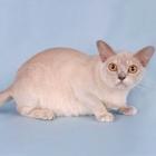Бурманская кошка, лиловый окрас3