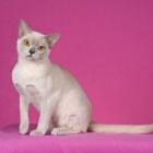 Бурманская кошка, лиловый окрас4