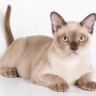 Бурманская кошка, шоколадный окрас1