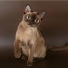 Бурманская кошка, шоколадный окрас2