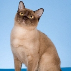 Бурманская кошка, шоколадный окрас3